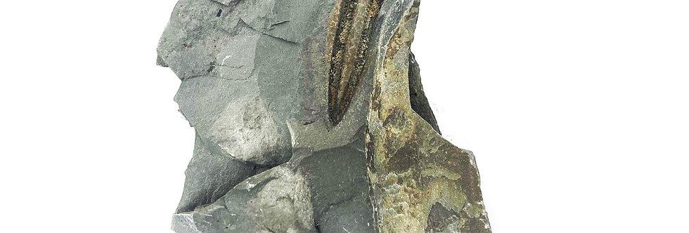 Rare Ordovician Graptolite Didymograptus denticulatus Utah Fossil