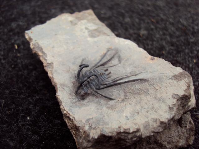 Dicranurus monstrosus lateral