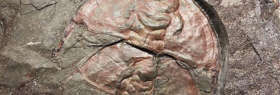 Olenellus fremonti cambrian trilobite Latham shale
