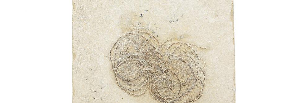 Fossil Cretaceous crinoid Antedon sp. (Burmeister, 1847)
