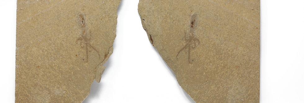 Fossil octopus Styletoctopus aff. annae (Fuchs, Bracchi & Weis 2009)