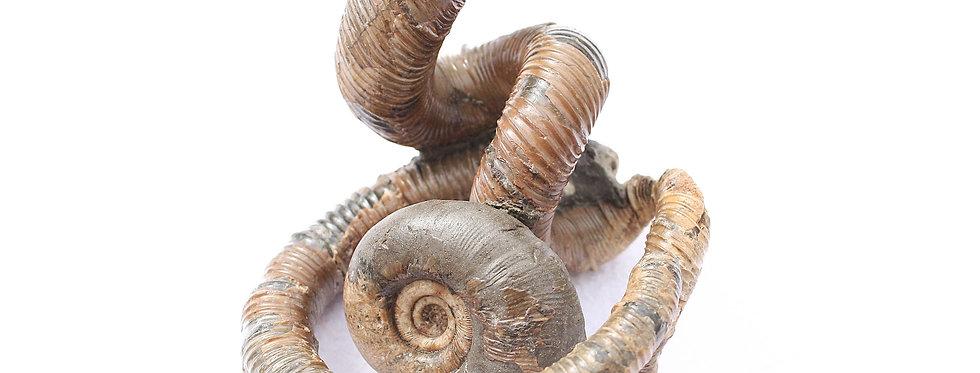 Scalarites scalaris + Eubostrychoceras japonicum