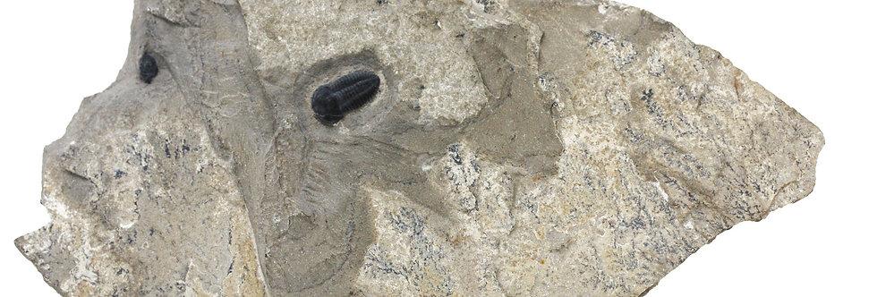 Cambrian Trilobite Brachyaspidion sulcatum (Robison, 1964)