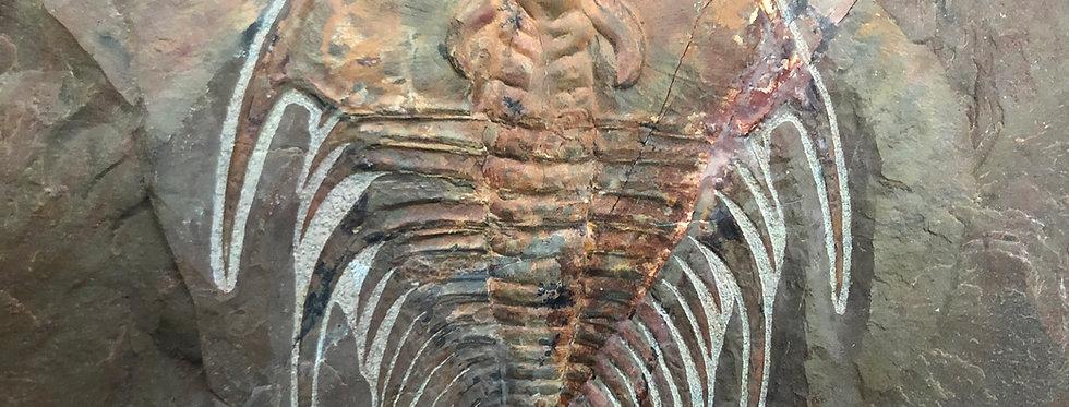 Olenellus nevadensis Cambrian trilobite USA
