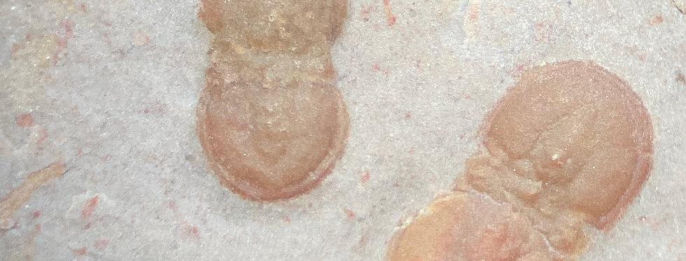 Double Hypagnostus parvifrons (Linnarsson 1869) trilobite