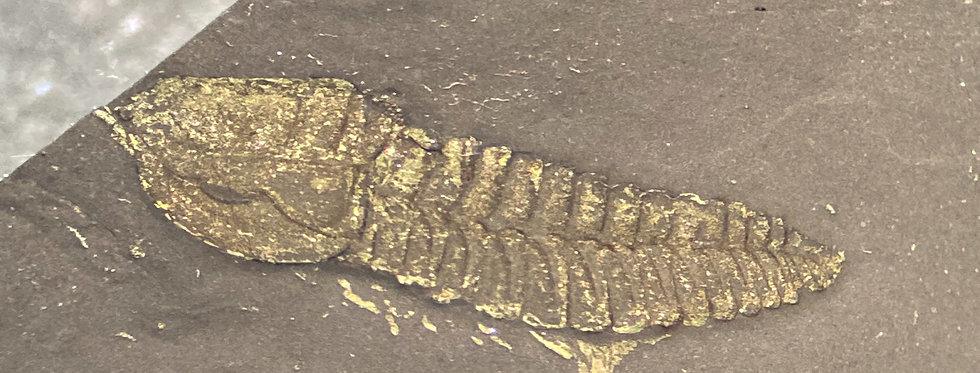 Gold Bug Triarthrus eatoni on sale
