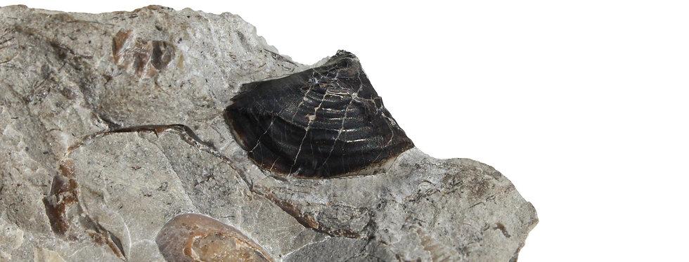 Rare Cretaceous Ammonite beak Jaw apparatus