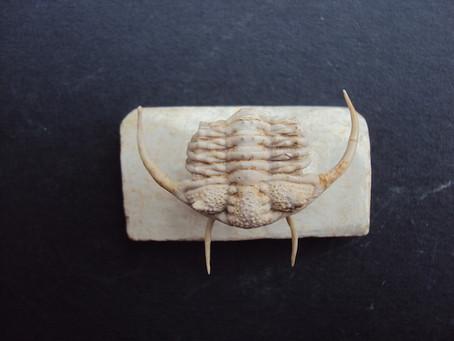 Trilobite of The Month: Gabricerarus mifflinensis