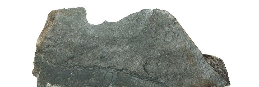 Ediacarian fossil Cyclomedusa. sp (Sprigg, 1947)