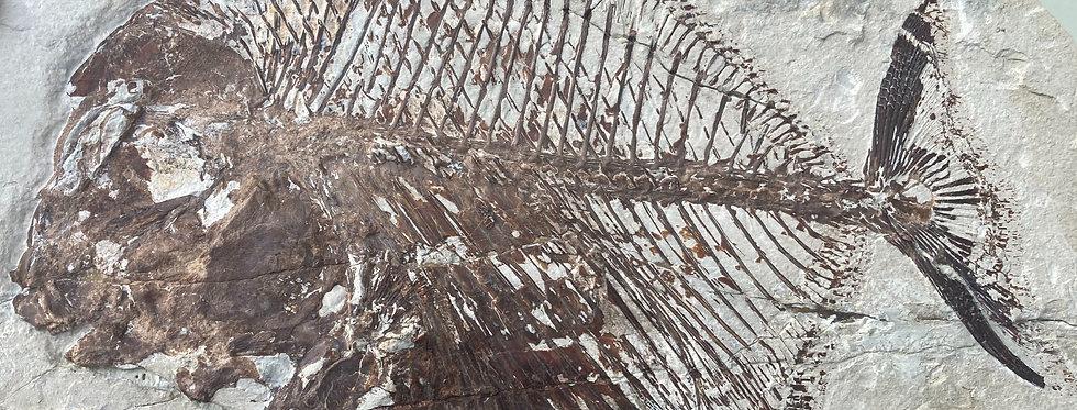 Nursallia goedeli cretaceous Lebanese fish