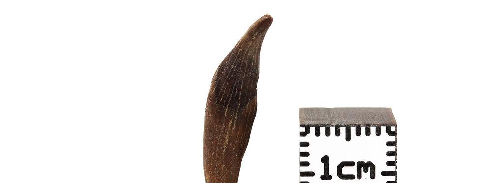 Fossil mammal tooth Cimolestes sp.