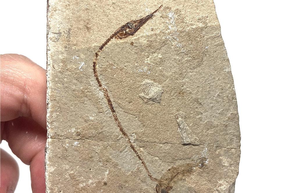 Rhynchodercetis fossil fish Lebanon cretaceous