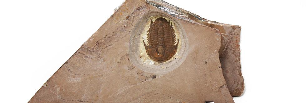 Modocia typicalis Cambrian trilobite