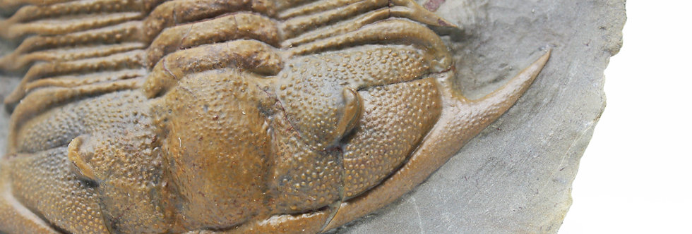 Damesella paronai Cambrian  trilobite china