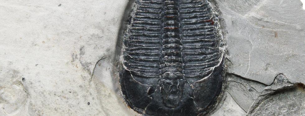 Elrathia kingii complete cambrian trilobite Meek, 1870