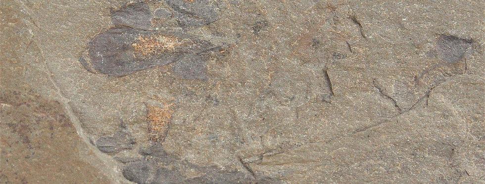 Cambrian Hyolitha Hyolithids Pioche Shale