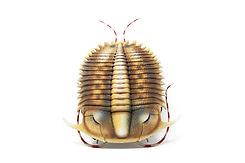 model trilobite Damesella paronai 3d pri