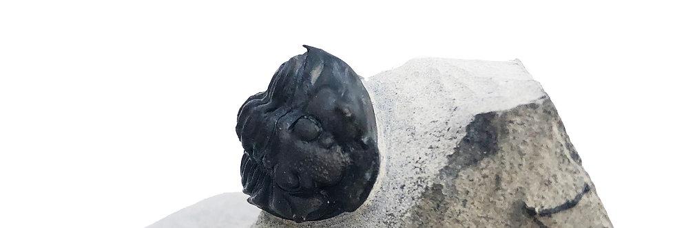 Flexicalymene senaria  Walcott Rust Quarry trilobiti.com