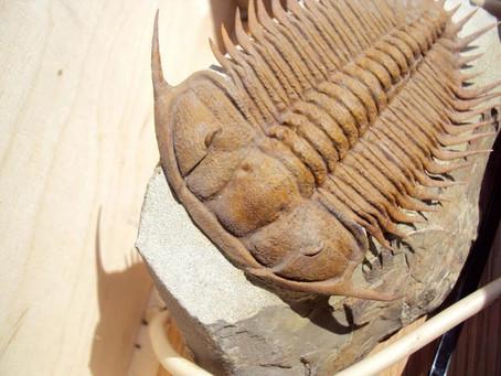 High-grade trilobite add to the Shop