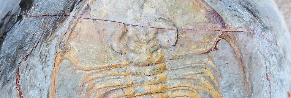 Olenellus nevadensis trilobite Cambrian LAtham Shale California