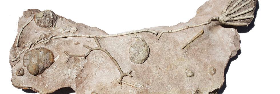 Pegocrinus bijugus (Trautschold, 1867)