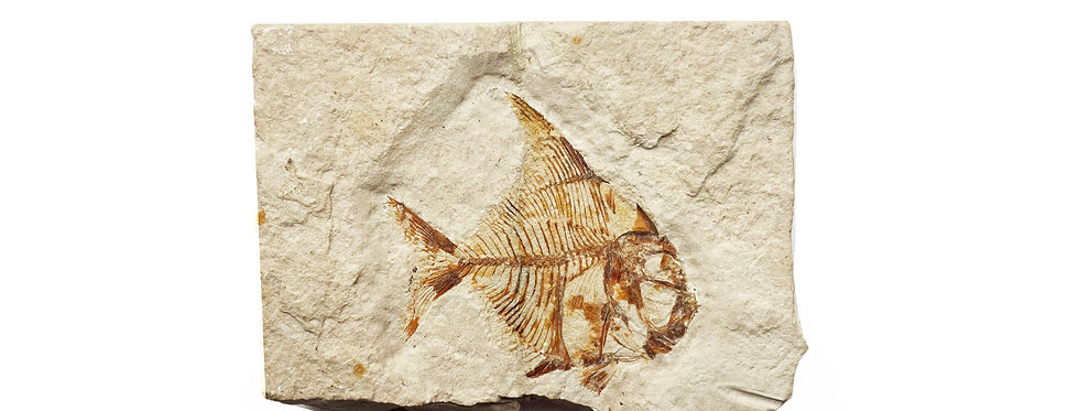 Pharmacichthyis numismalis fossil fish cretaceous Lebanon