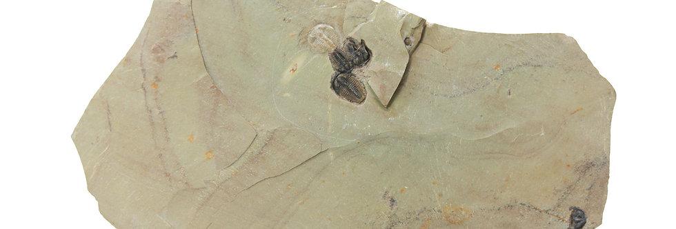 mass mortality Bollaspidella drumensis