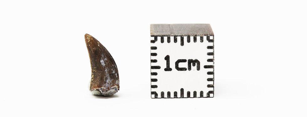 Dinosaur Fossil tooth Acheroraptor temertyorum (Evans, Larson & Currie 2013)