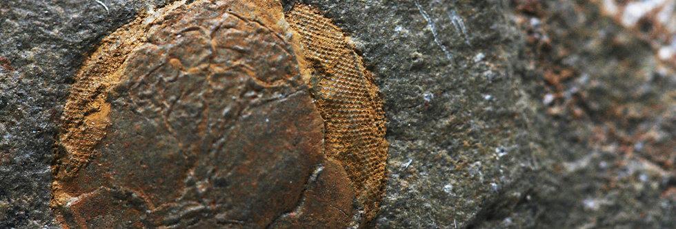 Ordovician Swimming Trilobite Microparia sp.