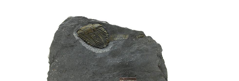 Ordovician Trilobite Placoparia tournemini (Rouault, 1847)