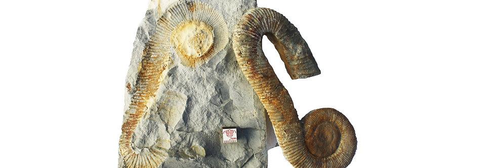Super Ammonite Macroscaphites yvani (Puzos, 1832)
