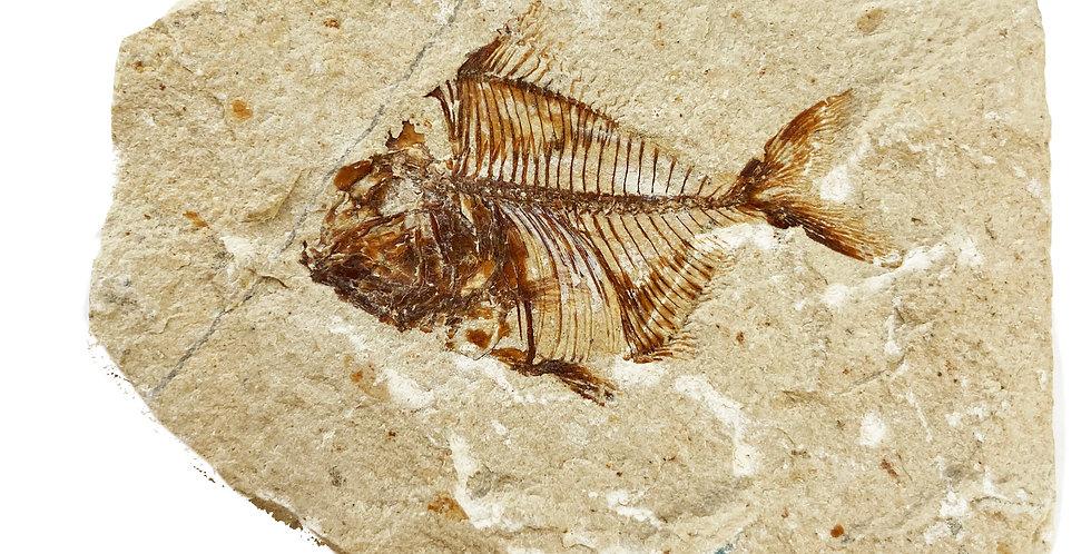 Pharmacichthyis venenifer cretaceous fossil fish