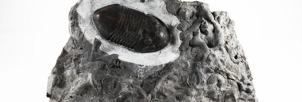 Isotelus latus (Raymond, 1913)