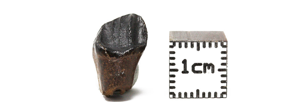 Fossil tooth Thescelosaurus neglectus (Gilmore, 1913)