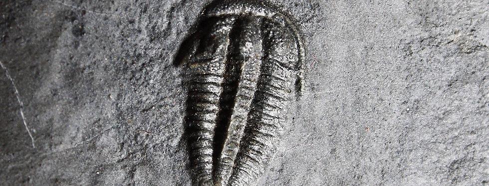 Bolaspidella drumensis (Robison, ?)