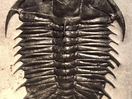 Trilobite of The Month : February Olenoides superbus