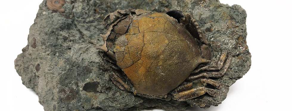 Harpactoxanthopsis sp. fossil German crab