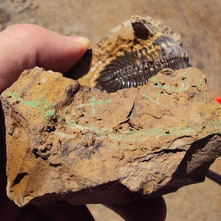 Trilobite preparation sequences: Hollardops mesocristata