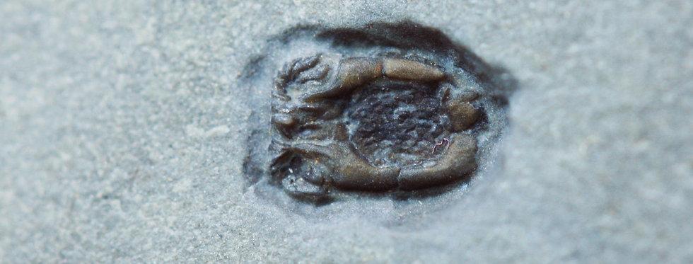 Homalozoan echinoderms Ctenocystis colodon