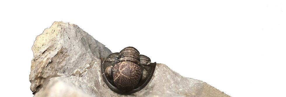 Gerastos tuberculatus marocensis trilobite devonian morocco