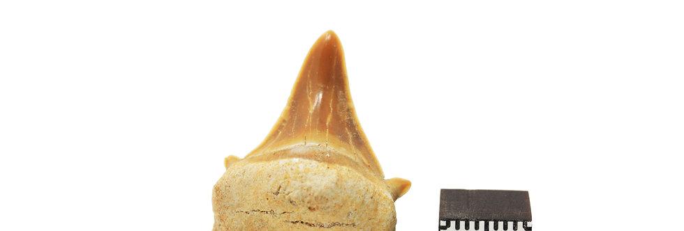 Pathologic Otodus obliquus (Agassiz, 1843) shark tooth fossil