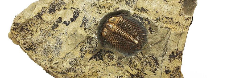 Cambrian Trilobite Damesella paronai (Airaghi)