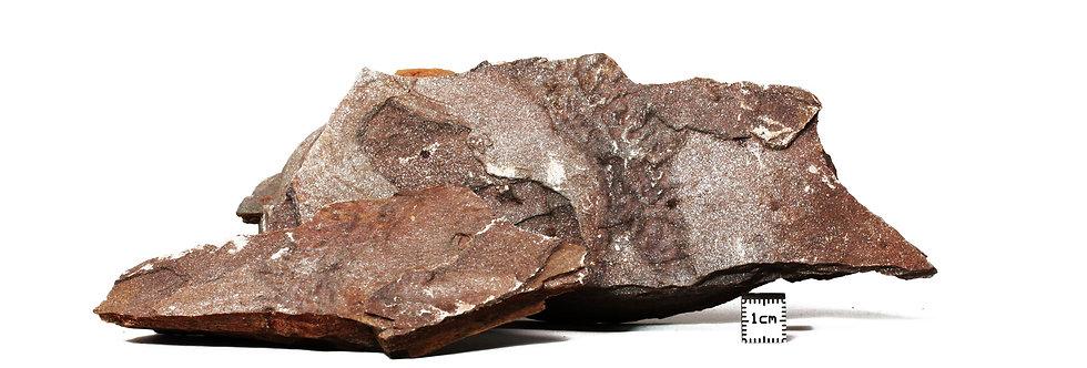 Cambrian Ichnofossil Latham shale Marble mountain
