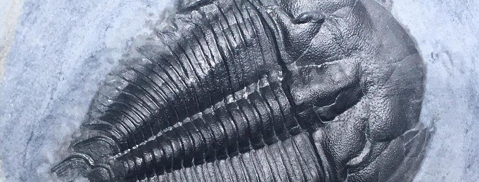 Amecephalus  idahoense Cambrian trilobite Spence shale