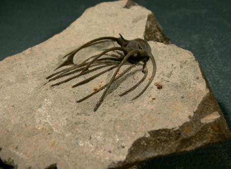 Trilobite Heliopeltis sp.