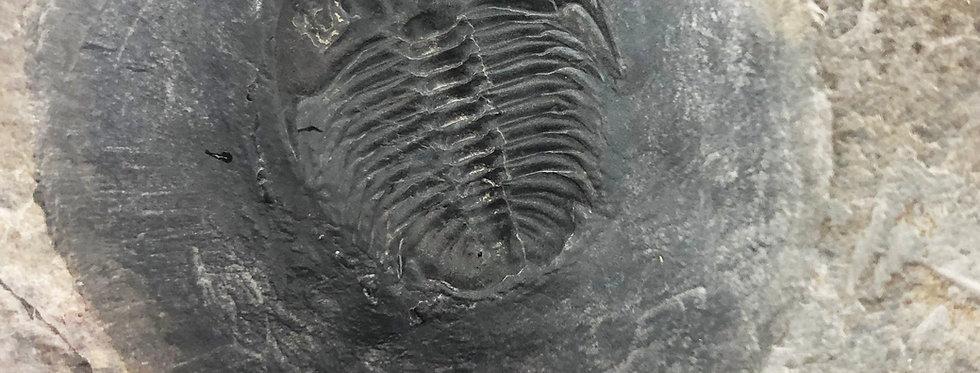 Extra rare Bathyuriscus wasatchensis trilobite cambrian spence shale USA