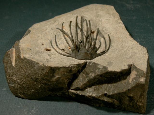Heliopeltis sp trilobite Devonian fo Morocco 3