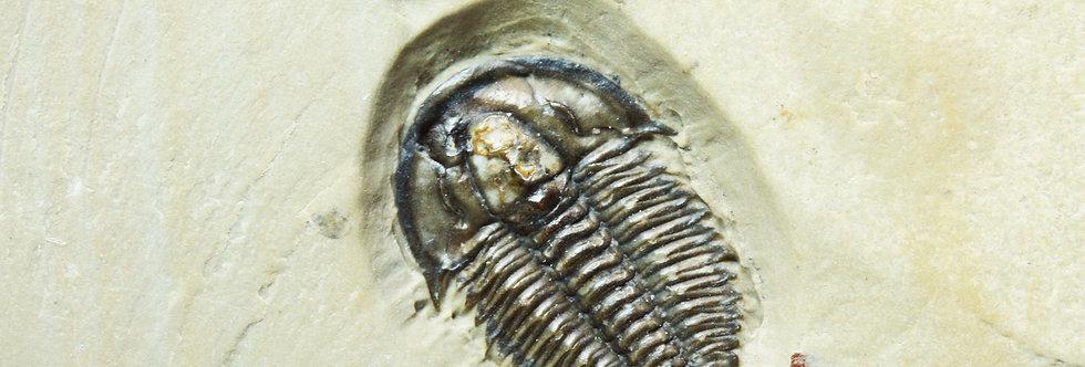 Modocia brevispina small cambrian trilobite