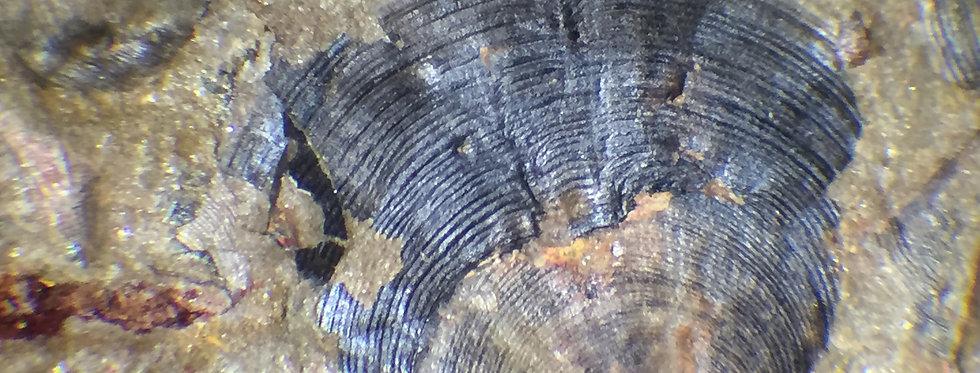 Cambrian Acrothele sp. brachiopod