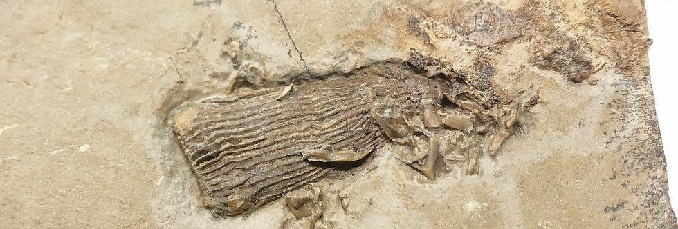 Cambrian Archaeocyatha polenta formation trilobiti.com